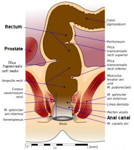 Anatomy of rectum and colon